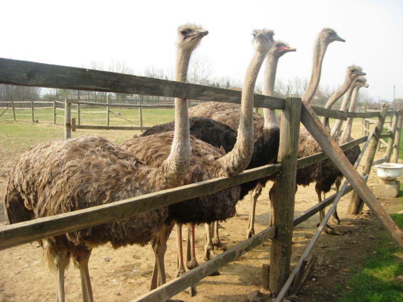 """Результат пошуку зображень за запитом """"страусина ферма закарпаття"""""""